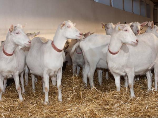 Французькі племінні кози